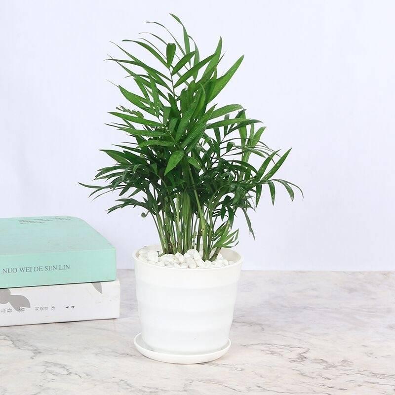 涛和 散尾葵盆栽 凤尾竹 (不含盆)3.8元包邮(需用券)