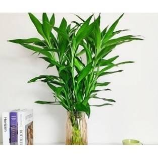PLUS会员:ZHONGZHEWAN 种着玩 大叶富贵竹10棵 60-70cm    2.4元包邮(需用券)(慢津贴后1.4元)