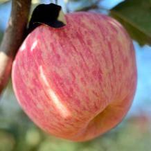威海无花果 烟台栖霞红富士苹果 5斤19.8元包邮(需用券)