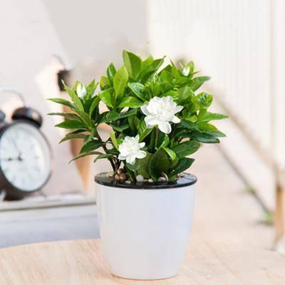Hodo 红豆 栀子花盆栽 带花苞    8.9元包邮