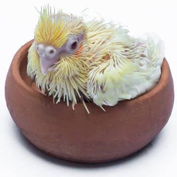 麦叮卡 鹦鹉活体 黄化玄凤雏鸟 送奶粉+喂食器