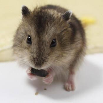 宠物活体:仓鼠 三线 1只    9.9元