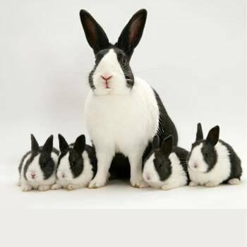 宠物活体:朗缤 黑白道奇兔 1只