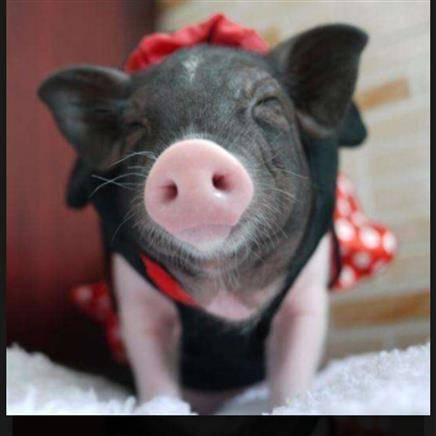 泰国迷你 小香猪    638元包邮